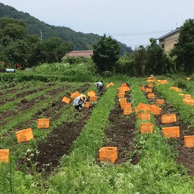 鳥取のおいしい有機野菜 TREE&NORF / BLOF実践記録-収穫作業が難航