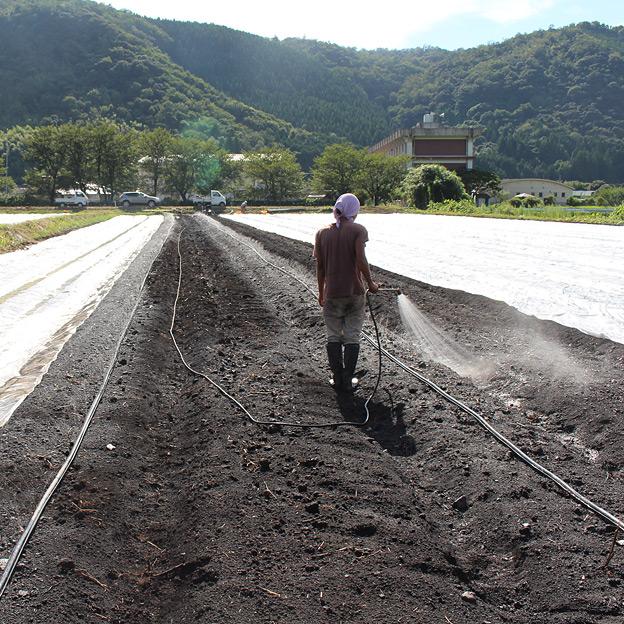潅水設備がないため、人力で散水して土壌水分の管理を試みる