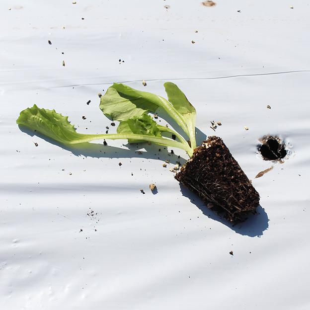 鳥取のおいしい野菜 TREE&NORF/レタスの苗