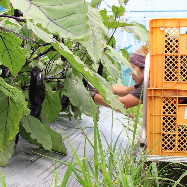 鳥取のおいしい有機野菜 TREE&NORF 千両なすの出荷が始まりました