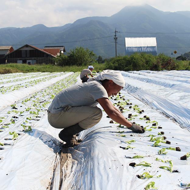 鳥取のおいしい野菜 TREE&NORF/レタスの苗の定植