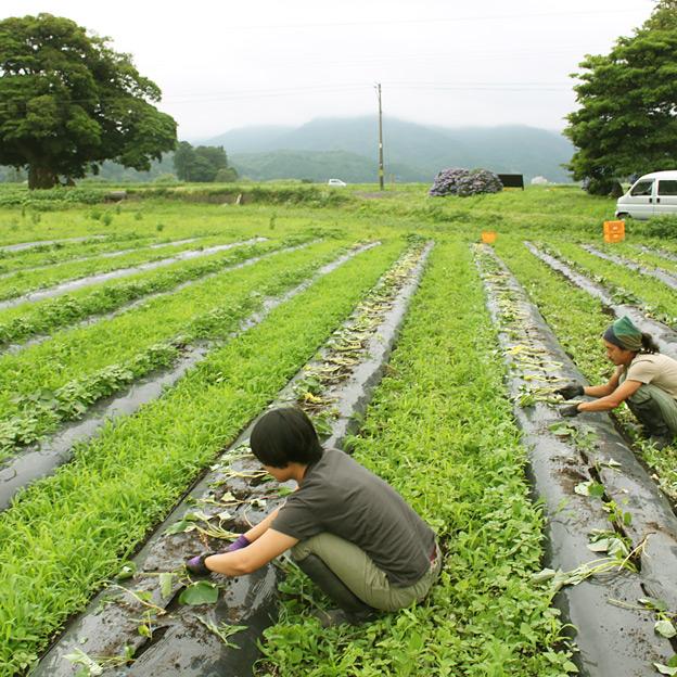 鳥取のおいしい野菜 TREE&NORF さつまいも(紅はるか)を栽培中