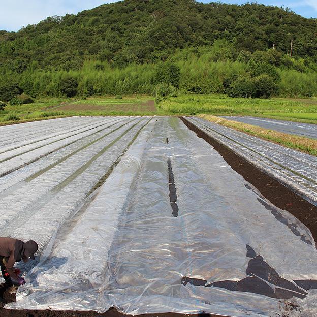 太陽熱養生処理のため、マルチでほ場を覆う