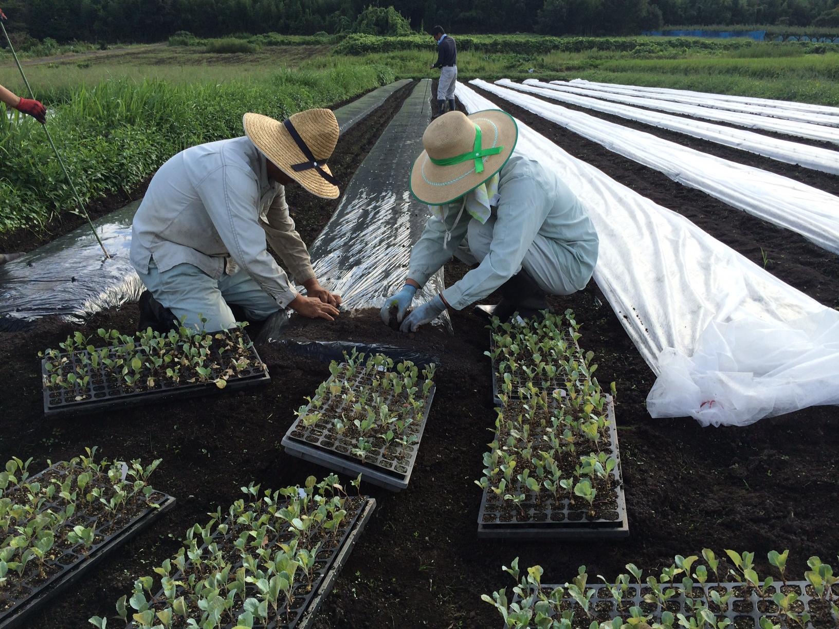 鳥取のおいしい野菜 TREE&NORF/キャベツの苗の植え付け