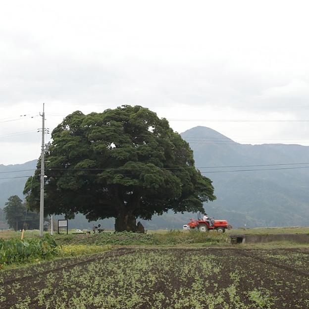 大タブの木