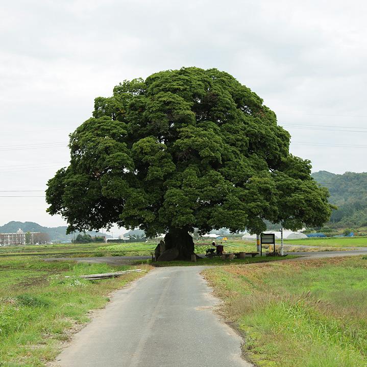 鳥取のおいしい有機野菜 TREE&NORF 鳥取県気高町の大タブの木