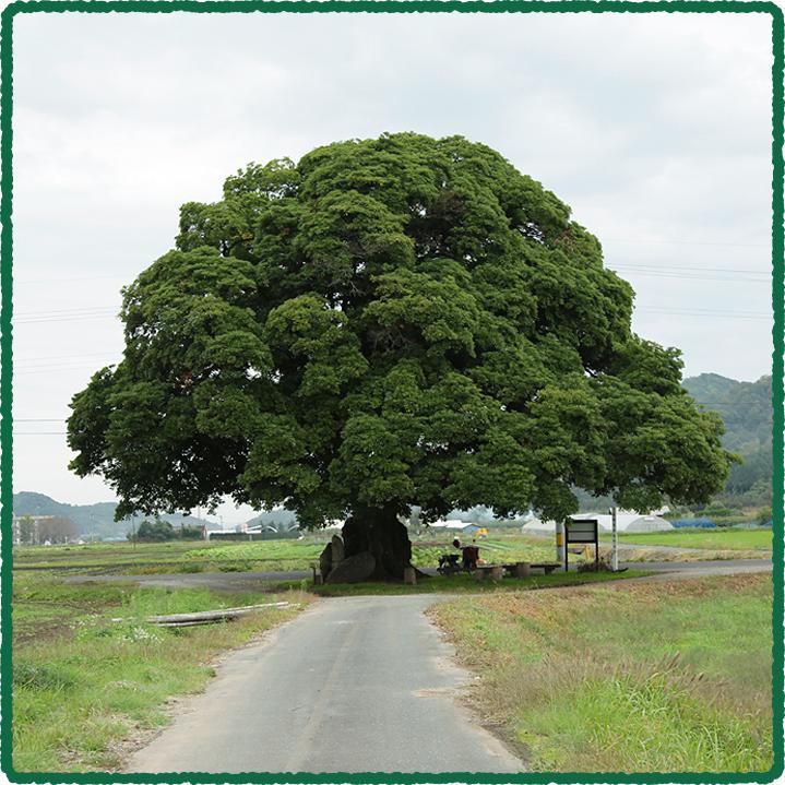 鳥取のおいしい有機野菜 TREE&NORF ほ場について「大タブの木」