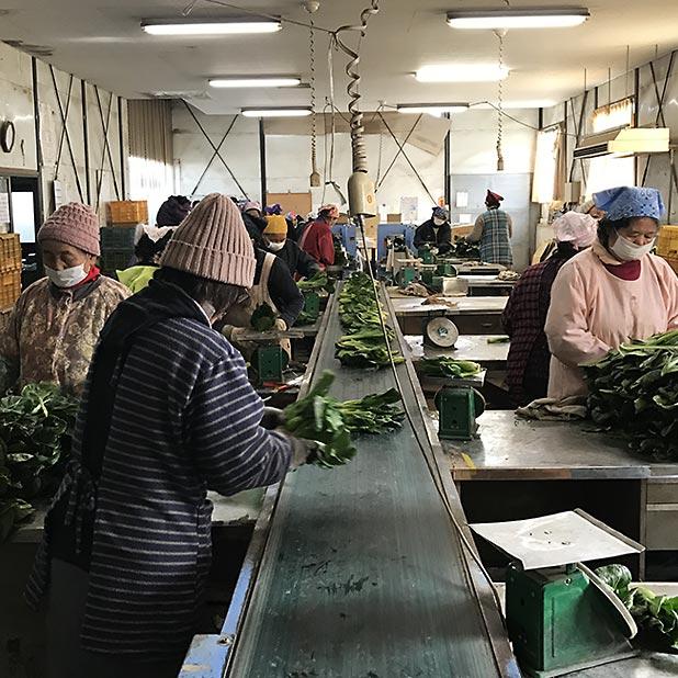 群馬県プレマフーズの有機小松菜の選果場